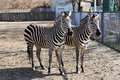 Two zebras in zoo Royalty Free Stock Photo