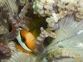 Twoband clownfish Stock Image
