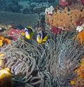 Twobar Anemone Fish Royalty Free Stock Photography