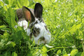 Twocollored rabbit in the grass Royalty Free Stock Photo