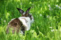 Twocollored rabbit with long ears in long grass Royalty Free Stock Photo