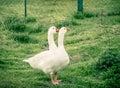 Twoheaded Goose