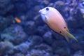 Twospot surgeonfish Royalty Free Stock Photo