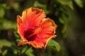 Tye dye colored hibiscus flower blooms in hawaii Stock Photos
