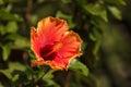 Tye dye colored hibiscus flower blooms in hawaii Royalty Free Stock Images