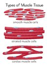Types of Muscle Tissue Royalty Free Stock Photo