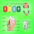 Types of teeth and external and internal structure of tooth Stock Image