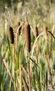 Typha plants in wetland near rockanje holland Royalty Free Stock Photo