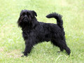 Typical  Black Griffon Belge Royalty Free Stock Photo
