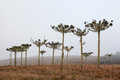 Typical brazilian pine trees araucaria and fog at cambara do sul rs brazil Royalty Free Stock Images