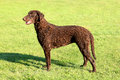 Typical Curly Coated Retriever...