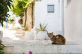Typical on the cyclades wild cats on the road greek cat sitting in a small alley of Stock Images