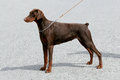Typical dobermann brown portrait of Royalty Free Stock Image