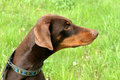 Typical dobermann dog in a garden detail of brown Stock Images