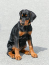 Typical dobermann puppy portrait of black with rust red markings Stock Images