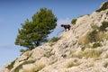 Typical goat in formentor sierra de tramuntana in majorca spain Royalty Free Stock Photo