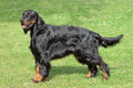 Typical Gordon Setter  on a green grass lawn Royalty Free Stock Photo
