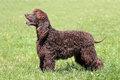 Typical Irish Water Spaniel in the garden Royalty Free Stock Photo