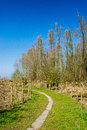 Typical pollard willows in Holland Stock Photography