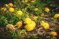 Typical styrian pumpkin field, Austria Royalty Free Stock Photo