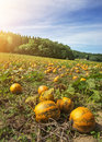 Typical styrian pumpkin field Royalty Free Stock Photo