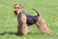 Typical Welsh Terrier Royalty Free Stock Photo