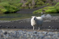 Typical white icelandic sheep near the river iceland standing on a sunny day Royalty Free Stock Image