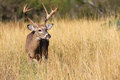 Typical whitetail beamed buck Royalty Free Stock Photo