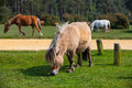 Typical wild pony in new forest national park great britain Stock Image