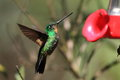 Tyrian metaltail metallura tyrianthina in yanacocha resorve ecuador Royalty Free Stock Photos