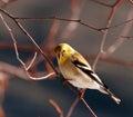Uccello americano del Goldfinch Immagine Stock Libera da Diritti