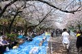 Ueno tokyo april visitors enjoy cherry blossom sakura on april in park park is visited by up to million people for Royalty Free Stock Images