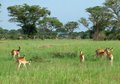 Uganda kobs in african savannah sunny scenery with some africa Stock Image
