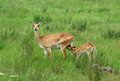 Uganda kobs in green grassland kob mother and child africa Royalty Free Stock Photos