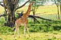Ugandan giraffe browses in savannah
