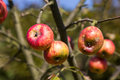 Ugly apples growing on a tree Royalty Free Stock Photo