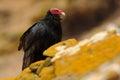 Ugly black bird Turkey vulture, Cathartes aura, sittin on yellow moss stone, Falkland Isllands