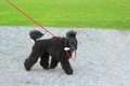 Ugly black dog caniche breed walking in the park with a bone in its mouth Royalty Free Stock Photos