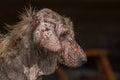 ugly dog Royalty Free Stock Photo