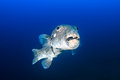 Ugly fish old starry pufferfish in blue water Royalty Free Stock Photography