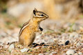 Uinta Chipmunk Royalty Free Stock Photo