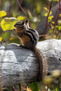Uinta Chipmunk (Neotamias umbrinus fremonti) Royalty Free Stock Photo