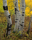 Uinta Forest Aspens 6 (V) Stock Photos