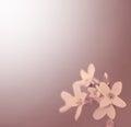 Uitstekend kijk foto van bloemen cutleaf toothwort Stock Afbeelding