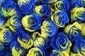 Ukraine rose flowers Royalty Free Stock Photo