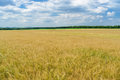 Ukrainian summer landscape with wheat field Stock Photos