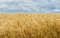 Ukrainian summer landscape with wheat field and sky Stock Photo