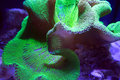 Ultra Neon Green polyp Crown Leather coral Royalty Free Stock Photo