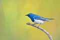 Ultramarine flycatcher bird colorful blue and white male ficedula superciliaris perching on a branch side profile Royalty Free Stock Photo