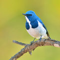 Ultramarine flycatcher bird colorful blue and white male ficedula superciliaris perching on a branch side profile Royalty Free Stock Photos